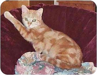Domestic Shorthair Cat for adoption in Leoti, Kansas - Azeezee