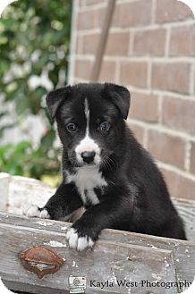 Australian Shepherd/Husky Mix Puppy for adoption in Wellesley, Massachusetts - Julius