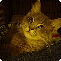 Adopt A Pet :: Feather - Centerton, AR