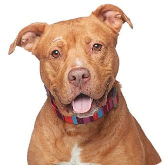 American Pit Bull Terrier Mix Dog for adoption in Los Angeles, California - Susan B.