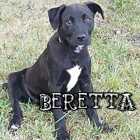 Adopt A Pet :: Beretta - Des Moines, IA