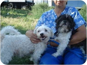Maltese/Poodle (Toy or Tea Cup) Mix Dog for adoption in Freeport, New York - Rocky and Nikki