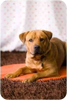 Bullmastiff Mix Dog for adoption in Portland, Oregon - MARIO- courtesy posting