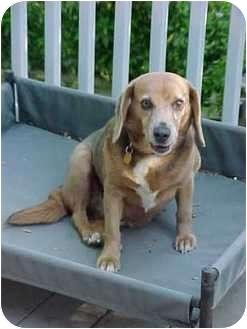 Beagle Dog for adoption in Waldorf, Maryland - Denver