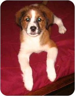 Australian Shepherd Mix Puppy for adoption in Savannah, Georgia - Cooper