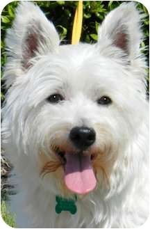 Westie, West Highland White Terrier Dog for adoption in Wakefield, Rhode Island - TOBY
