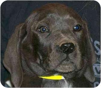 Labrador Retriever/Weimaraner Mix Puppy for adoption in Cumming, Georgia - Falcon