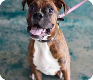 Boxer Dog for adoption in Reno, Nevada - Dresden