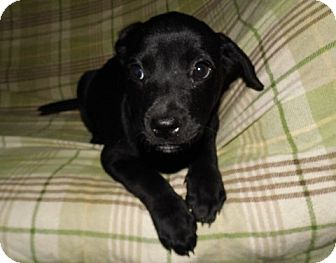 Labrador Retriever Mix Puppy for adoption in Bel Air, Maryland - Ebony