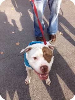 American Bulldog/American Pit Bull Terrier Mix Dog for adoption in Clay, New York - Hank