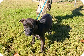 Chihuahua Mix Dog for adoption in Yuba City, California - 12/12 Cool Whip