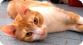 Domestic Shorthair Cat for adoption in Brooklyn, New York - Spencer