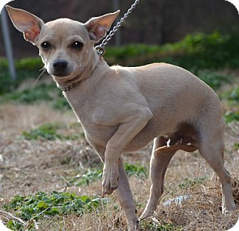 Chihuahua Mix Puppy for adoption in Allentown, Pennsylvania - Joey