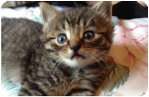 Domestic Shorthair Kitten for adoption in Horsham, Pennsylvania - Jack