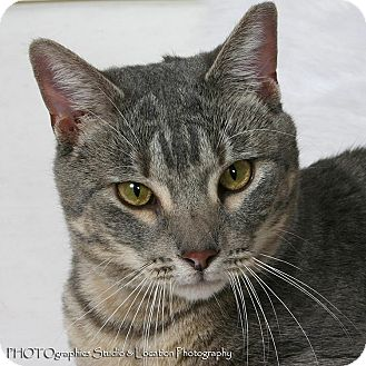 Domestic Shorthair Cat for adoption in New Orleans, Louisiana - Max