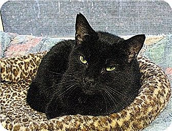 Domestic Shorthair Cat for adoption in Huntington, New York - Bubbles