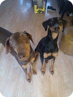 Doberman Pinscher Dog for adoption in Allegan, Michigan - Raven