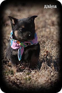 Australian Shepherd Mix Puppy for adoption in Brattleboro, Vermont - Alahna