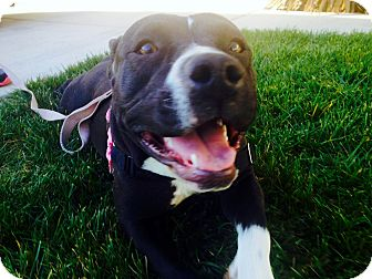 """American Staffordshire Terrier/Pit Bull Terrier Mix Dog for adoption in Yorba Linda, California - Daisy - """"I'm a smaller size!"""""""