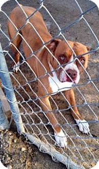 Boxer/Pit Bull Terrier Mix Dog for adoption in Fowler, California - Missoni