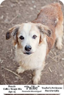 Collie Mix Dog for adoption in Coudersport, Pennsylvania - PALLIE