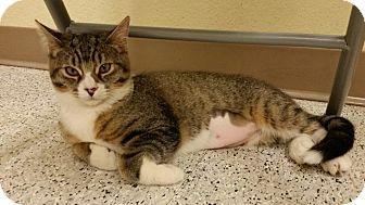 Domestic Shorthair Kitten for adoption in Phoenix, Arizona - Cagney