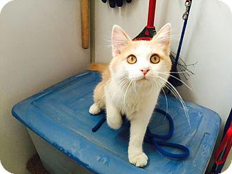 Domestic Longhair Cat for adoption in Edgewood, New Mexico - Leonardo