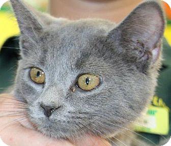 Domestic Shorthair Cat for adoption in Lovingston, Virginia - Luke (PSP)