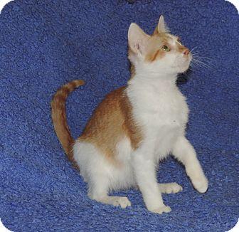Domestic Shorthair Kitten for adoption in Plano, Texas - GOLDFISH - FUNNY KITTY