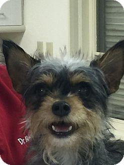 Yorkie, Yorkshire Terrier Mix Dog for adoption in Phoenix, Arizona - Sprocket