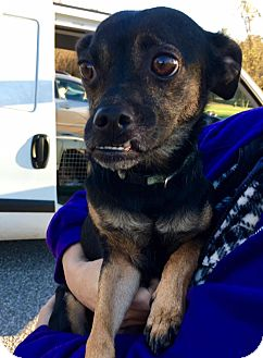 Chihuahua Mix Dog for adoption in WESTMINSTER, Maryland - Zoe