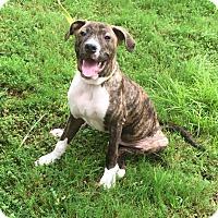 Plott Hound/Labrador Retriever Mix Puppy for adoption in Arlington, Tennessee - Howie
