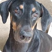 Adopt A Pet :: BABYDOLL - Lloyd, FL