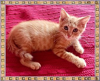 Domestic Shorthair Kitten for adoption in Mt. Prospect, Illinois - Flex