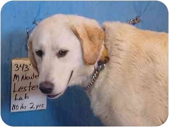 Labrador Retriever Dog for adoption in Zanesville, Ohio - Lester - ADOPTED!