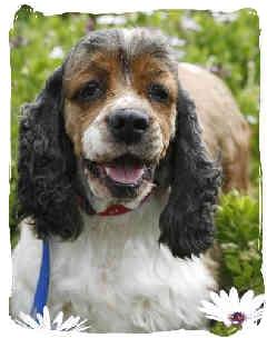 Cocker Spaniel Dog for adoption in San Diego, California - Valerie