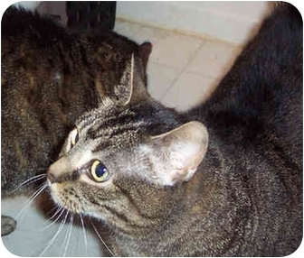 Domestic Shorthair Cat for adoption in Gaithersburg, Maryland - Thelma