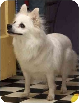American Eskimo Dog Mix Dog for adoption in Columbus, Ohio - Jasper