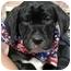Photo 4 - Basset Hound/Labrador Retriever Mix Puppy for adoption in Sacramento, California - Charlie boy