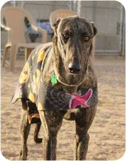 Greyhound Dog for adoption in Tucson, Arizona - Sheriff