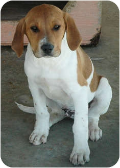 Beagle Mix Puppy for adoption in Ripley, Tennessee - Beagle Pups (86 & 87)