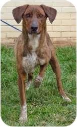Treeing Walker Coonhound/Pointer Mix Dog for adoption in Clarksville, Tennessee - Angela