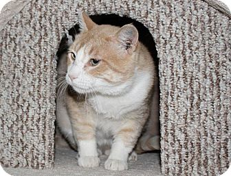 Domestic Shorthair Cat for adoption in Pincher Creek, Alberta - Lester
