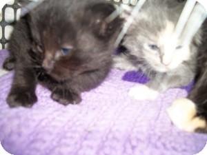 American Shorthair Kitten for adoption in Santa Monica, California - Martin