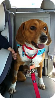 Beagle Dog for adoption in Ventnor City, New Jersey - CLUE