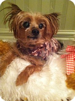 Yorkie, Yorkshire Terrier Mix Dog for adoption in Fremont, California - Ted