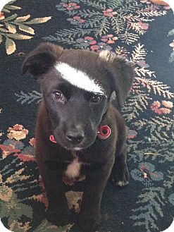 Labrador Retriever/Shepherd (Unknown Type) Mix Puppy for adoption in Westminster, Colorado - Victoria