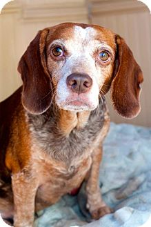 Beagle Mix Dog for adoption in Manahawkin, New Jersey - Libby