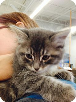 Domestic Mediumhair Kitten for adoption in Ogden, Utah - Kansas