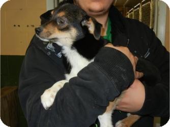 Labrador Retriever/Australian Shepherd Mix Puppy for adoption in Antioch, Illinois - Mercedes ADOPTED!!